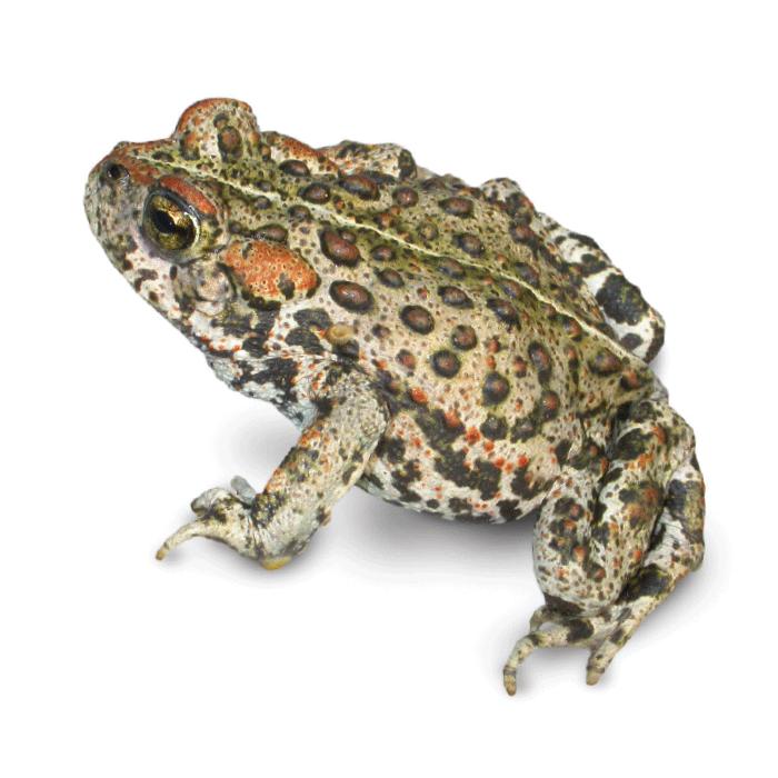 Boreal toad aca boreal toad sciox Image collections