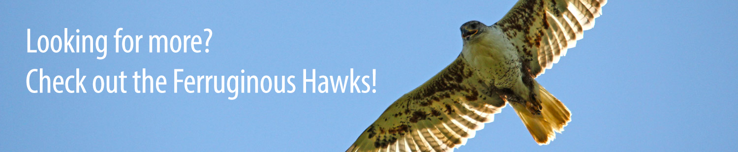 Looking for more? Check out the Ferruginous Hawks!